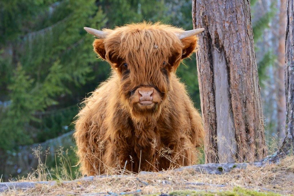 Scottish highland cattle. Photo: Sverre Vassbotn