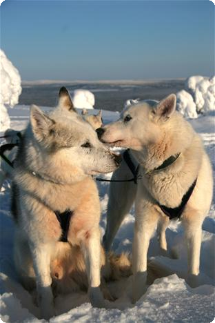 200314_Huskysafari_in_Lapland