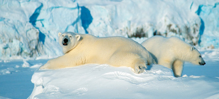 110414_Polar-bears-Svalbard-Norway