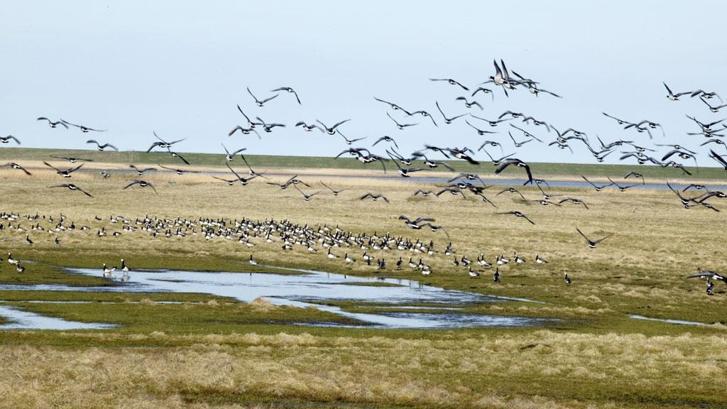 230914_Wadden_sea-migratory-birds