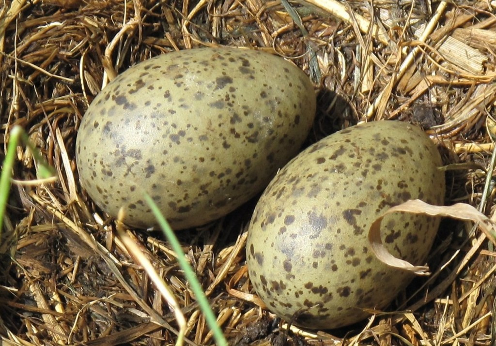 010915-Seagull-eggs-daily-scandinavian