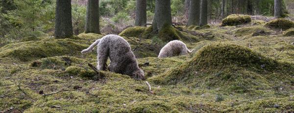 040915-truffles-safari-gotland-sweden