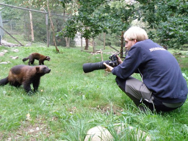 Jonatan Borling shooting wolverines at Nordens Ark
