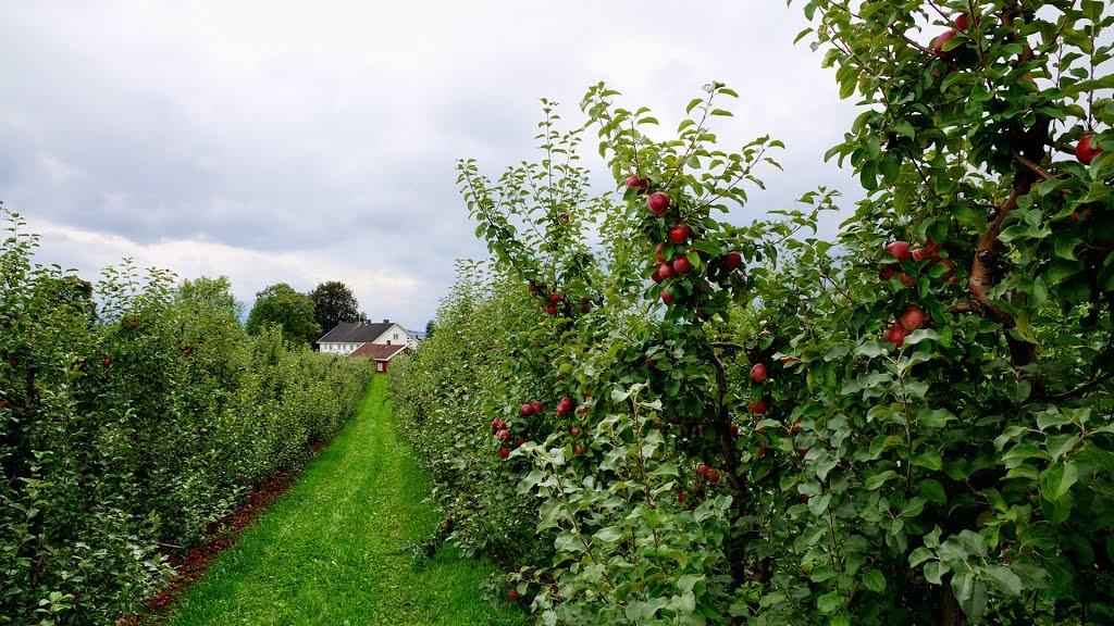 Ringvold fruit garden