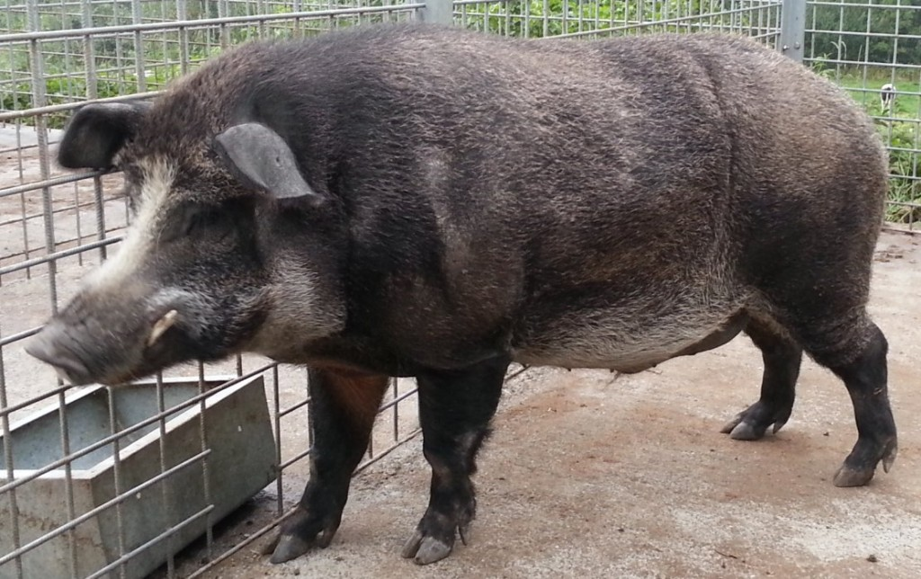 A male pig wild-boar cross