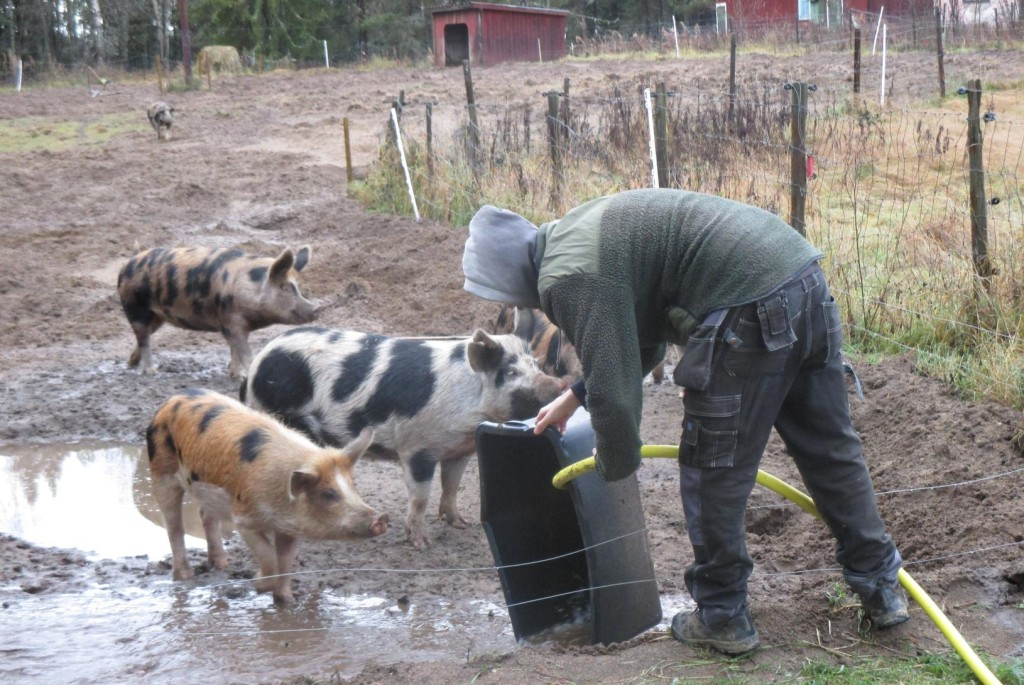 Organically pig farming