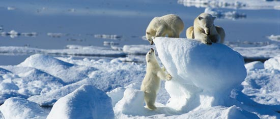 250316-Polar-Bears