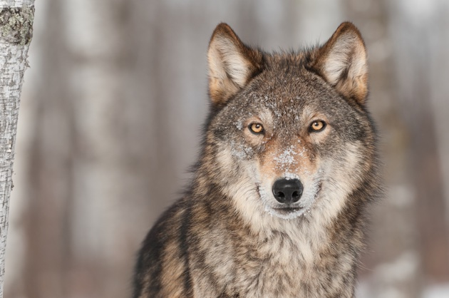 Grey Wolf (Canis lupus). Photo: H. Kuchera (Visit Sweden)