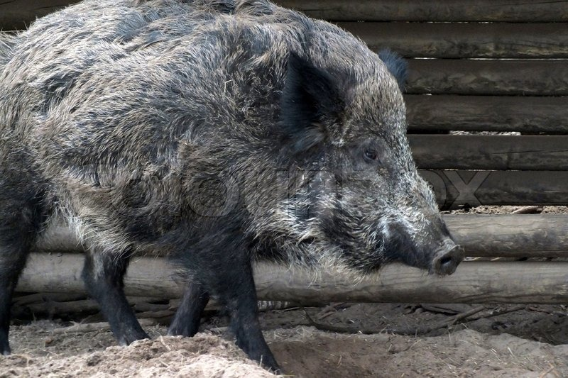 Wild boar in Scandinavian Wildlife Park on Mols