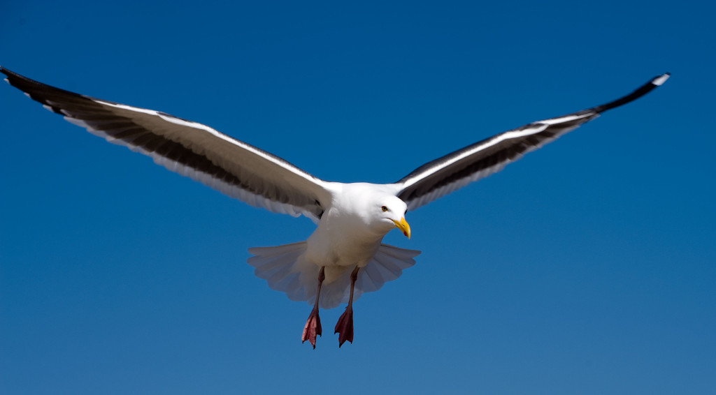 150616-Seagull-in-Flight