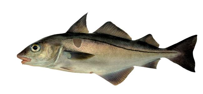 haddock (melanogrammus-aeglefinus)