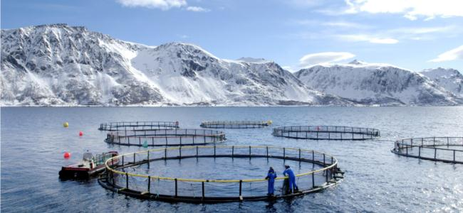 Scandinavian salmon discover scandinavia for Illinois fish farms