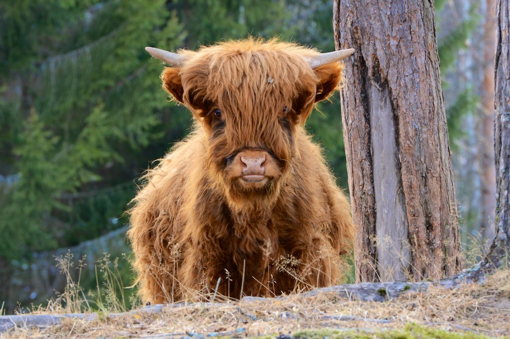Scottish highland cattle. Photo: Sverre Vassbotn