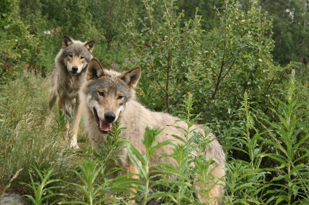 210916-langedrag-wolf-park