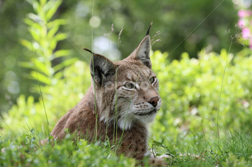 Lynx at Langedrag. Photo: Eva Loeken