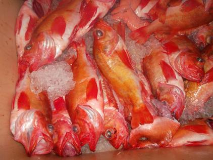 Norway haddock